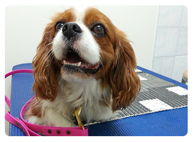 Cavalier Rescue needs donations to keep helping to rescue, rehabilitate and rehome Cavaliers